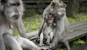 Viajes a Indonesia - Bali Monos