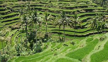 Viajes a Indonesia - Bali Terrazas de Arroz