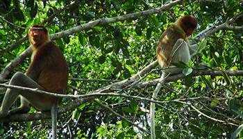 Viajes a Indonesia - Monos Proboscis en Borneo