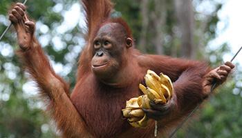 Viajes a Indonesia - Orangutan en Borneo