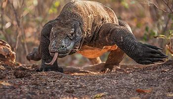 Viajes a Indonesia - Dragón de Komodo