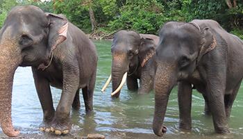 Viajes a Indonesia - Sumatra Elefantes