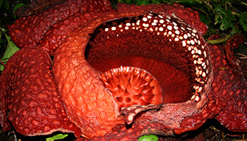 Viajes a Indonesia -Sumatra Flor Rafflesia